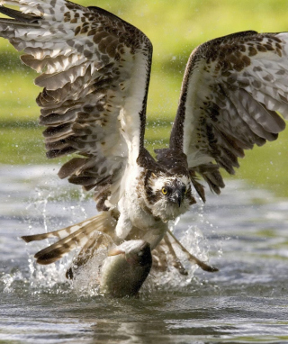 Free Hawk With Fish Picture for iPhone 6 Plus