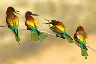 Birds Rainbow bee eater Picture for Android, iPhone and iPad