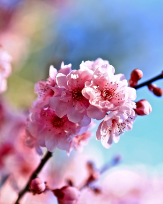 Free Spring Cherry Blossom Tree Picture for iPhone 6 Plus