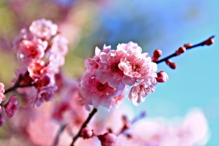 Spring Cherry Blossom Tree Background for Android, iPhone and iPad