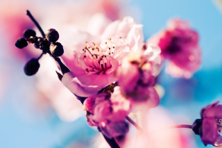 Free Beautiful Cherry Blossom Picture for Android, iPhone and iPad