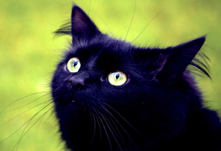 Blackest Black Cat And Green Grass sfondi gratuiti per cellulari Android, iPhone, iPad e desktop