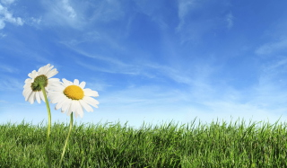 Two Chamomile Under Blue Sky - Fondos de pantalla gratis
