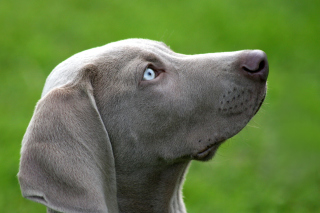 Free Weimaraner Puppy Picture for Android, iPhone and iPad