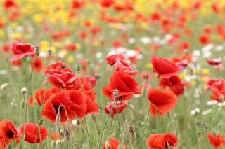 Poppies In Nature Wallpaper for Android, iPhone and iPad