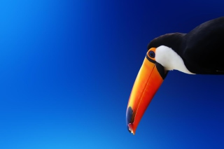 Tropical Toucan Wallpaper for Android, iPhone and iPad