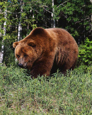 Free Brown Bear Picture for Nokia Asha 311