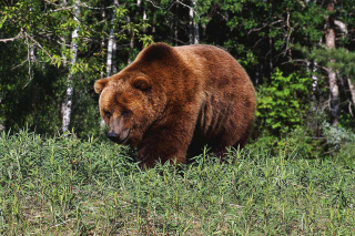 Brown Bear Wallpaper for Android, iPhone and iPad