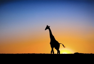 Free Safari At Sunset - Giraffe's Silhouette Picture for Android, iPhone and iPad