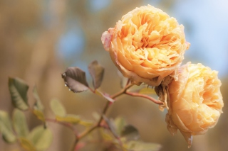 Free Peach Roses Picture for Android, iPhone and iPad
