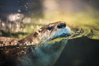Otter Background for Samsung Google Nexus S