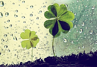 Free Clover Leaves And Dew Drops Picture for Android, iPhone and iPad