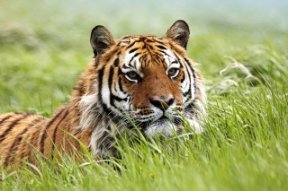 Wild Siberian Tiger Wallpaper for Android, iPhone and iPad