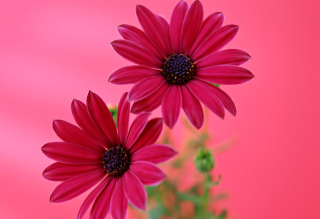 Beauty Gerbera Wallpaper for Samsung Galaxy Ace 4