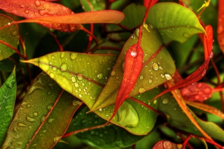 Red And Green Leaves papel de parede para celular