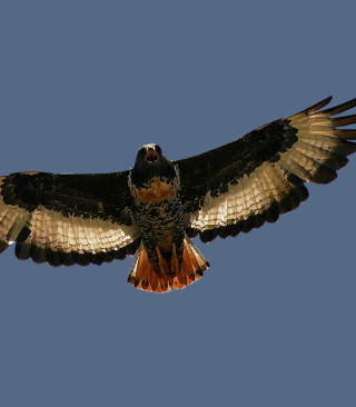 Free Jackal Buzzard Picture for 128x160