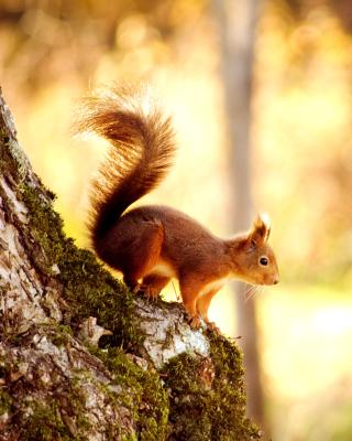Squirrel - Fondos de pantalla gratis para iPhone 4S