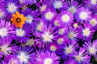 Purple Colour Flowers Background for Android, iPhone and iPad