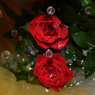 Free Drops on roses Picture for 1024x1024