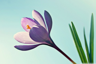 Crocus Flower Background for Android, iPhone and iPad