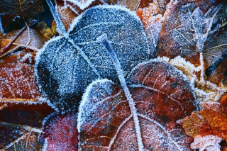 Frosty Autumn Leaves Wallpaper for Android, iPhone and iPad