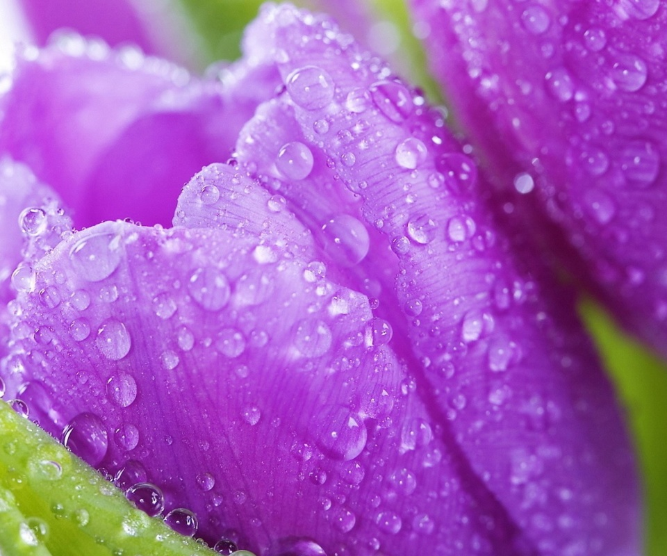 Screenshot №1 pro téma Purple tulips with dew 960x800