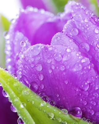 Purple tulips with dew Wallpaper for iPhone 6 Plus