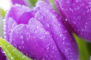 Purple tulips with dew Wallpaper for Android, iPhone and iPad