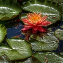 Screenshot №1 pro téma Amazing Water Lilly 128x128