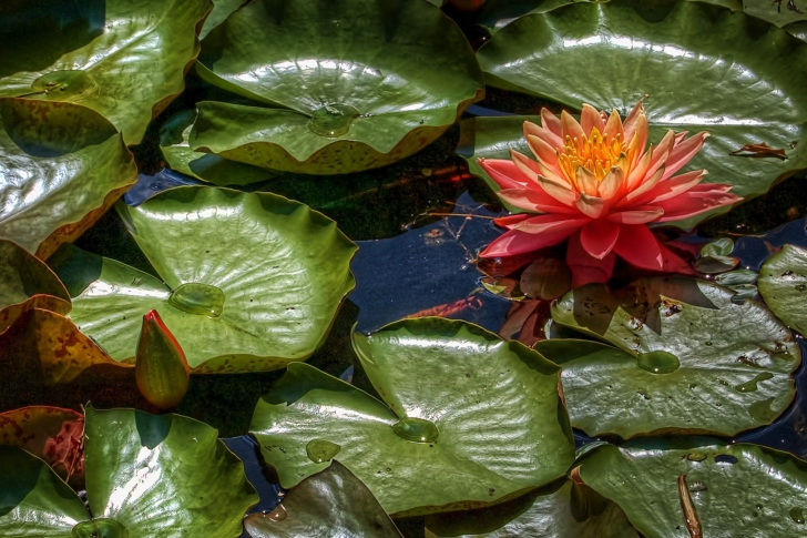 Обои Amazing Water Lilly