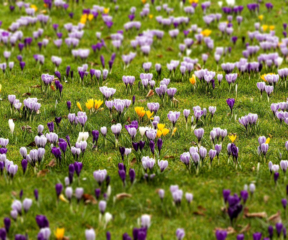 Screenshot №1 pro téma Crocuses and Spring Meadow 960x800