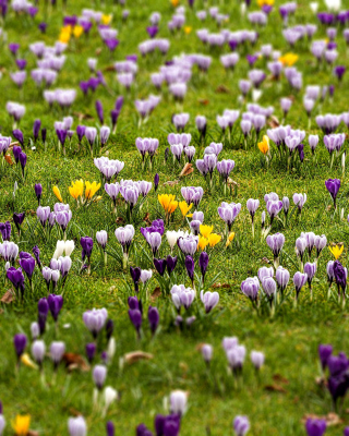 Free Crocuses and Spring Meadow Picture for HTC Titan