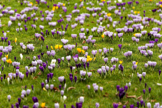 Crocuses and Spring Meadow Wallpaper for Android, iPhone and iPad