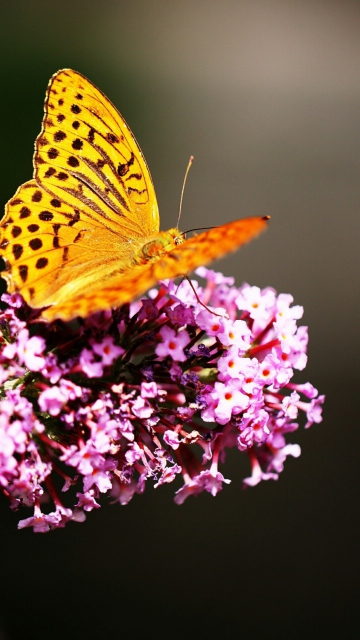 Butterfly On Lilac per Nokia N8