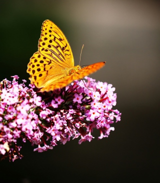 Butterfly On Lilac Picture for 240x320