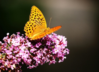 Butterfly On Lilac Picture for Android, iPhone and iPad