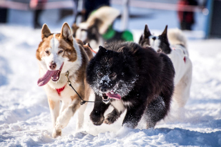 Husky, Dog Sled Wallpaper for Android, iPhone and iPad