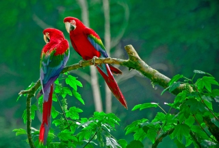 Parrots Paradise Background for Android, iPhone and iPad