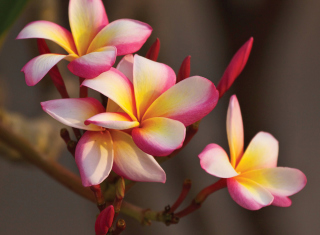 Plumeria in Thailand Background for Android, iPhone and iPad