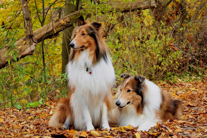 Collie dogs in village wallpaper