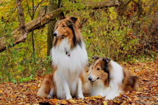 Collie dogs in village Background for Android, iPhone and iPad