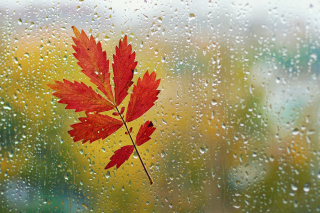 Red Autumn Leaf Wallpaper for Android, iPhone and iPad