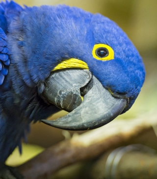 Hyacinth Macaw Picture for Nokia Asha 306