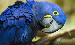 Hyacinth Macaw sfondi gratuiti per cellulari Android, iPhone, iPad e desktop