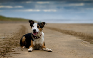 Dog Resting At Beach sfondi gratuiti per cellulari Android, iPhone, iPad e desktop