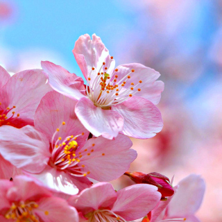 Free Cherry Blossom Macro Picture for iPad 3