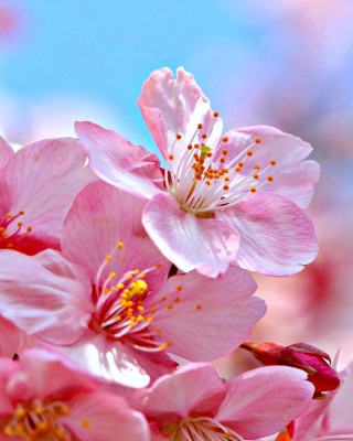 Free Cherry Blossom Macro Picture for Nokia C1-00
