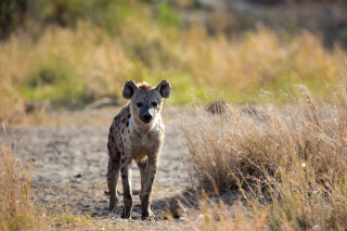 Free Hyena Picture for Android, iPhone and iPad