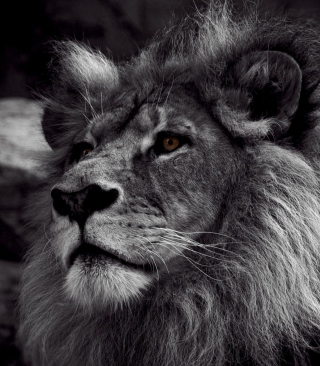 Free Black And White Lion Picture for iPhone 6 Plus