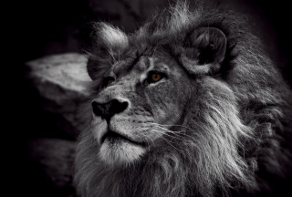Free Black And White Lion Picture for Android, iPhone and iPad